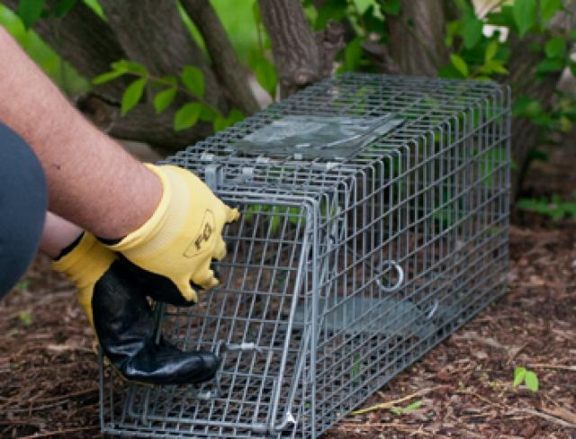 Trapping Wildlife Pests